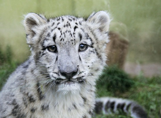 Next we have a fabulous snow leopard cub from Wikipedia Commons.